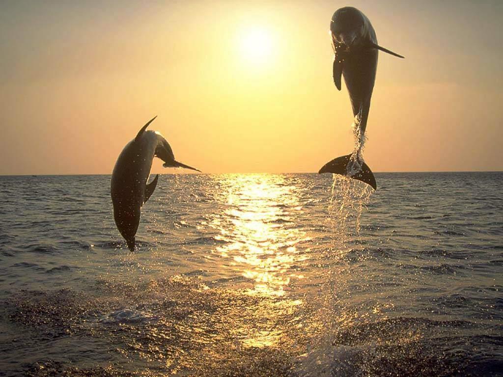 photo dauphins